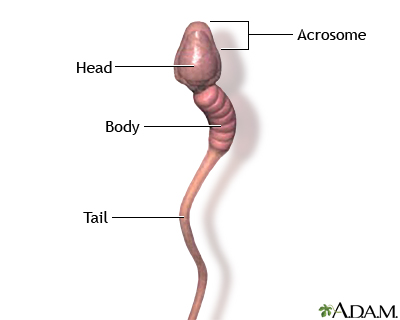 Produces male or female sex sperm